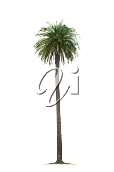 beautiful tall coconut palm tree isolated on white background