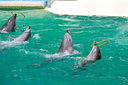 Dolphins twist the rings on water show