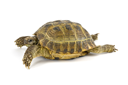 Royalty Free Photo of a Turtle