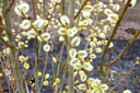 Flowering willow tree on a background of brown and black soil