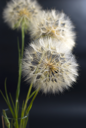 Royalty Free Photo of Dandelions