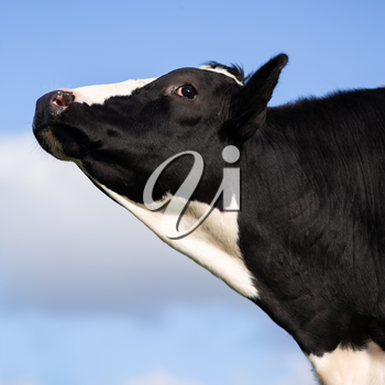 Black and white cow with head in the air over blue
