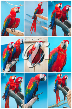 Beautiful photos of tropical parrots Ara macao or Scarlet Macaw