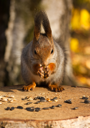 Royalty Free Photo of a Closeup of a Squirrel Eating Seeds