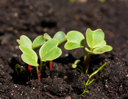 Royalty Free Photo of a Group of Radish Seedlings
