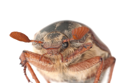 Royalty Free Photo of a Chafer