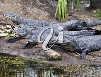 Royalty Free Photo of a Group of Alligators
