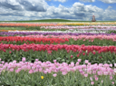 Royalty Free Photo of a Field of Tulips