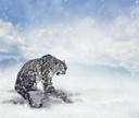 Snow Leopard Sitting on the Rock