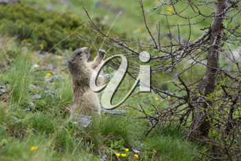 Alpine Marmot in the grass - Marmota Marmota