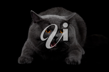 Royalty Free Photo of a Black Cat Hissing
