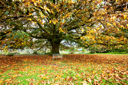 Royalty Free Photo of a Tree in Autumn