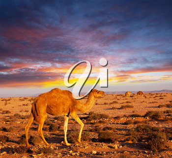 Royalty Free Photo of a Camel at Sunset