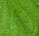 Royalty Free Photo of Dew on Leaves