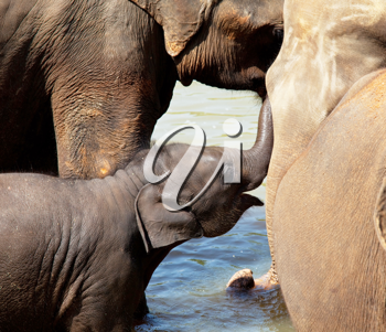 Royalty Free Photo of Elephants in Sri Lanka