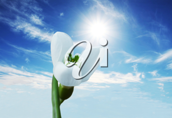 Royalty Free Photo of a Snowdrop Flower