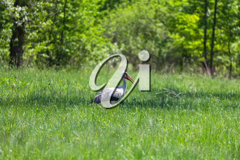 stork in green meadow at spring time