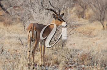 Impala anteleope in the wilderness of Africa. Safari concept