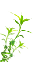 Royalty Free Photo of Green Bamboo