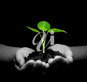 Royalty Free Photo of a Person Holding a Sapling