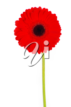 red gerbera flower closeup on white background