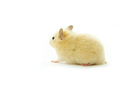 Hamster in front of a white background