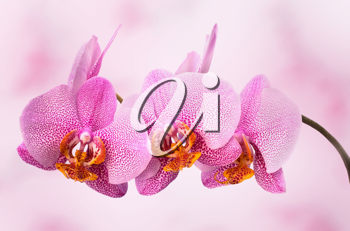 beautiful orchid on pink blured background