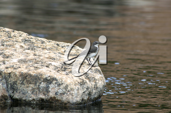 Little Wagtail Bird Standing a on Rock in a River