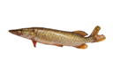 pike on a white background