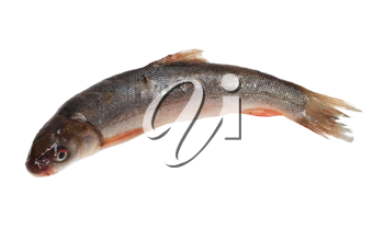Schizothorax - fish from Central Asia