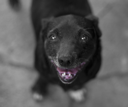 smile of a black dog with a pink tongue. focus on the nose