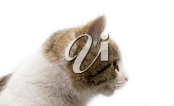 portrait of a cat on a white background