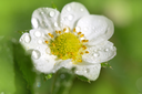 beautiful flower of strawberry in nature. macro