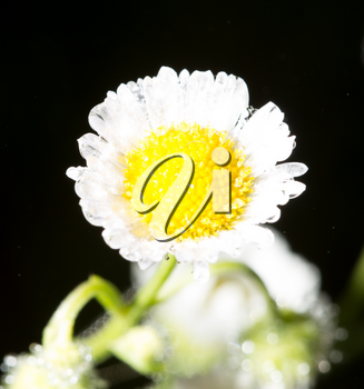 white chamomile flower in drops of dew .