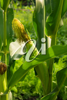 ear of corn on the nature