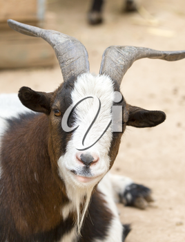 Portrait of a wild goat