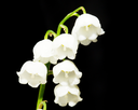 Lily of the valley on black background