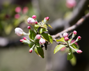 beautiful flowers on the branches of apple trees