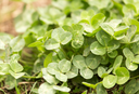Green clover in nature as a background
