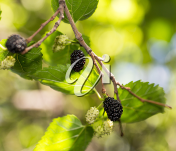 mulberry berries on the tree