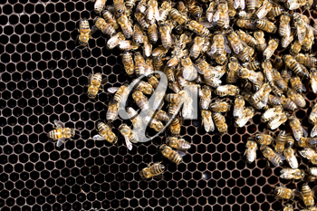 Bees on a framework with honey in the apiary