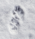 Dog footprints in the snow as a background