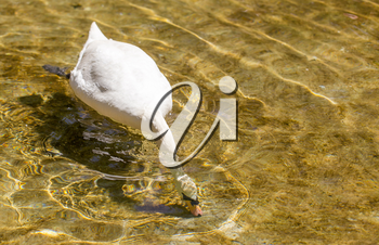 White swan swims in the lake in the open air .