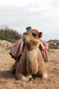 Royalty Free Photo of a Camel