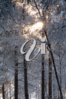 Royalty Free Photo of a Winter Forest