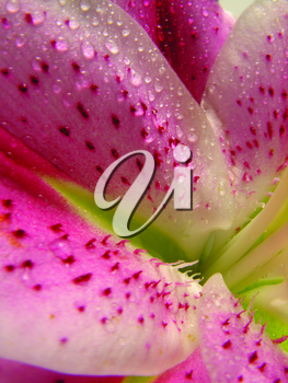 Royalty Free Photo of a Closeup of a Pink Flower
