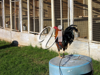 Royalty Free Photo of a Rooster by a Chicken Coop