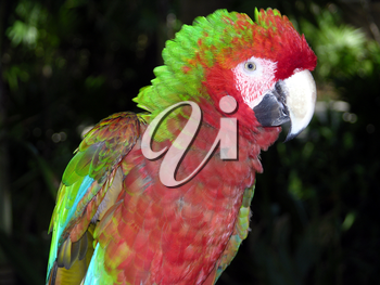 Royalty Free Photo of a Parrot