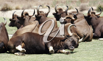 Royalty Free Photo of a Herd of Indian Guar
