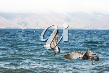 Royalty Free Photo of Seagulls Flying Over Lake Sevan